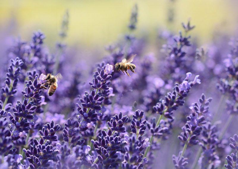 цветы пчела